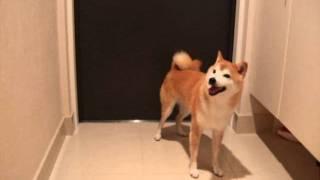 getlinkyoutube.com-柴犬 シバタ VS カミナリ