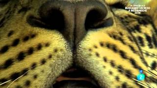 getlinkyoutube.com-Grandes documentales - El leopardo insólito