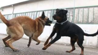 getlinkyoutube.com-Rottweiler Vs Berger Belge Malinois