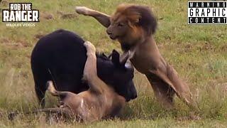 getlinkyoutube.com-Male Lions Attack Buffalo! Unbelievable!  (Epic Lion vs Buffalo Action Highlights!)