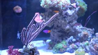 getlinkyoutube.com-Tank Update - New Mocha DiVinic Clowns, Royal Gramma, Yellow Clown Goby, Frogspawn... etc etc