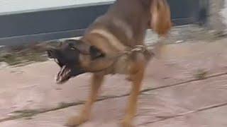 getlinkyoutube.com-الكلب (الراعي البلجيكي ) مع جمال العمواسي