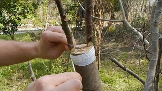 Cleft Grafting a Fig Tree