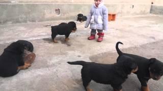 getlinkyoutube.com-Щенки ротвейлера 1,5 мес и ребенок 1,3 года