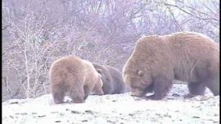 getlinkyoutube.com-MONSTER MOTHER GRIZZLY! WATCH OUT! SINNESSJUKA MONSTER MAMMA GRIZZLY! SE UPP! pt.1