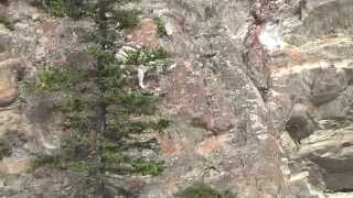 getlinkyoutube.com-Mountain goat climbing a hill in Canada