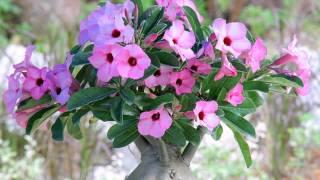 getlinkyoutube.com-Sementes rosa do deserto-ADENIUM OBESUM-venda-whats-47-984827214