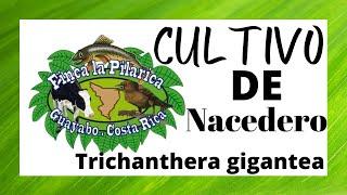 getlinkyoutube.com-Cultivo de Nacedero (Trichanthera gigantea)