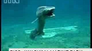 getlinkyoutube.com-Requin rare !