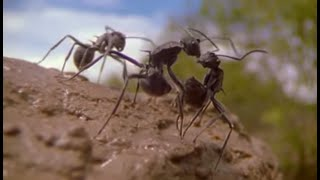 getlinkyoutube.com-Ants - Attenborough: Life in the Undergrowth - BBC