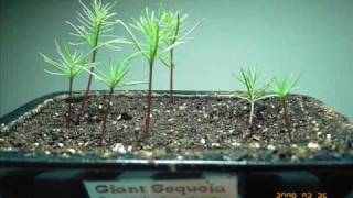 getlinkyoutube.com-Giant Sequoia Time Lapse