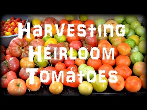 Harvesting Heirloom Tomatoes in the Garden