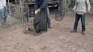 getlinkyoutube.com-Jager Pro Hog Trapping - Texas
