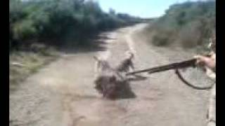 agrioxiros XINOS KWSTANTINOY POLYGYRO XALKIDIKIS SKILOS SIMARIK 2