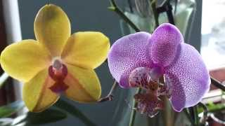 Опыление орхидеи. Перекрёстное опыление и сам на себя. Phalaenopsis pollination