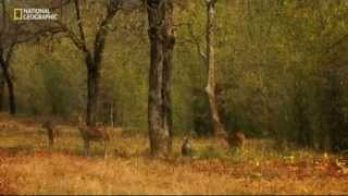 """getlinkyoutube.com-Tajemství indické divočiny  """"Tigří džungle"""""""