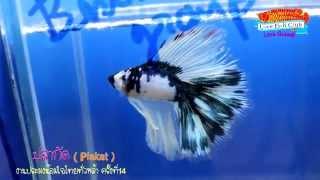 getlinkyoutube.com-Betta ปลากัด Plakat (Siamese fighting fish )