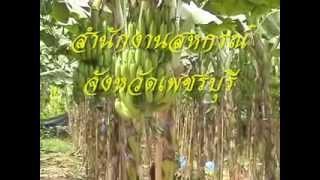 getlinkyoutube.com-กล้วยหอมทอง