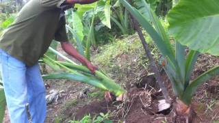 getlinkyoutube.com-The Giant Taro plant! How big will their corms?