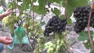 getlinkyoutube.com-виноградник Карпова и Рубель 2015г.