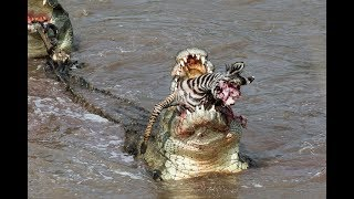 getlinkyoutube.com-Crocs catch and eat zebra - incredible feeding behaviour!