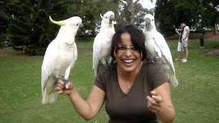 getlinkyoutube.com-Cacatuas / Cockatoos @ Sydney Botanic Gardens - Part 2