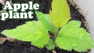 getlinkyoutube.com-How To Grow An Apple Tree From Seeds - Planting Dwarf Fruit Trees - Growing Apples Fruits - Jazevox