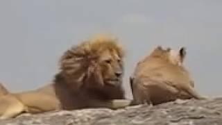 فيديو طريف لعملية نكاح الاسود زواج الحيوانات للكبار فقط