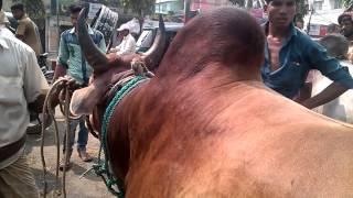 getlinkyoutube.com-Fighter Bull Qurbani Eid