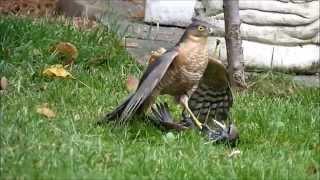 getlinkyoutube.com-sparrowhawk graphically killing a starling. Close up footage.