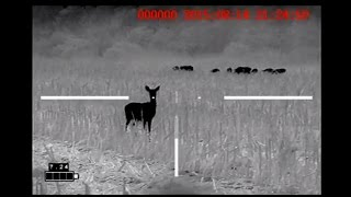 getlinkyoutube.com-Hog Fest - IR Hunter Mark ii 35mm