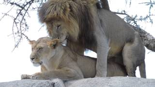 getlinkyoutube.com-WARNING! VERY GRAPHIC! Lions mating in the Serengeti - #2