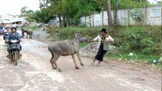getlinkyoutube.com-Bullfight in Burma