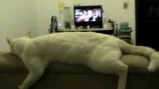 """getlinkyoutube.com-Gato """"Pink"""" Deitado assistindo TV (Cat watching TV)"""