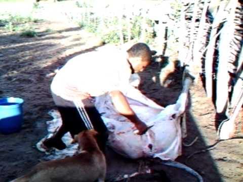Esfola couro de bovino abate clandestino