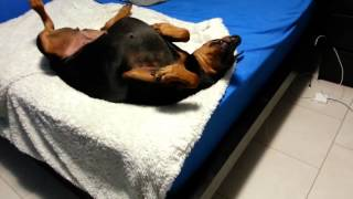 getlinkyoutube.com-Doberman Puppies 2015  -  Ultimate Cute Puppies Compilation 2015 - Funny Dog Videos Compilation