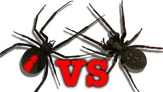 getlinkyoutube.com-Redback Spider Vs Black House Spider Touch Taste Kill