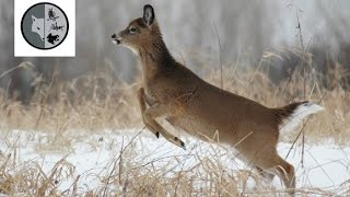 getlinkyoutube.com-White-tailed Deer - Films Nature Web TV