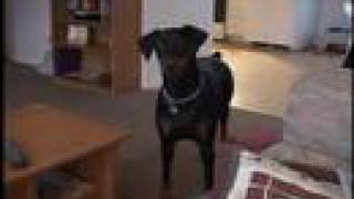 getlinkyoutube.com-Doberman goes crazy when asked to go get her Momma
