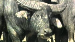 getlinkyoutube.com-Deadly Australians Water Buffalo.mov