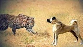 getlinkyoutube.com-Kangal dogs vs leopard | Dogs vs bear!!!
