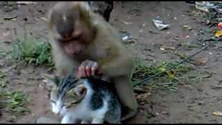 Un mono juega con un gato como si fuera su mascota. Curioso e insólito.