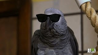 getlinkyoutube.com-Meet Santos: The Rapping, Potty Mouth Parrot
