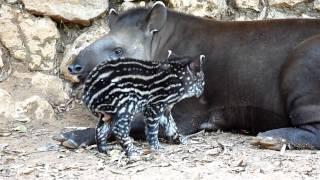 2012 10 08 Newborn Tapir