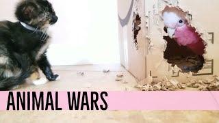 KITTEN VS. PARROT 🐈🐦 | GALAH COCKATOO THROWS TANTRUM ON CAT
