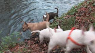 getlinkyoutube.com-Miniature Bull Terrier Misterybulls Promotional Video