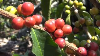 Empresa de café Ñeey espera aumentar la producción a 18 toneladas este año