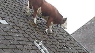 getlinkyoutube.com-Cow Intelligence & ability. Smart cattle.