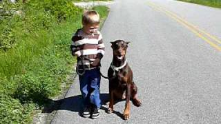 getlinkyoutube.com-Walking The Ferocious Doberman