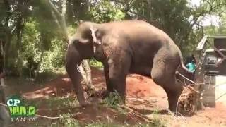 getlinkyoutube.com-Huge Elephant Capture !
